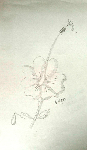 Flower drawn by Charu Nethra